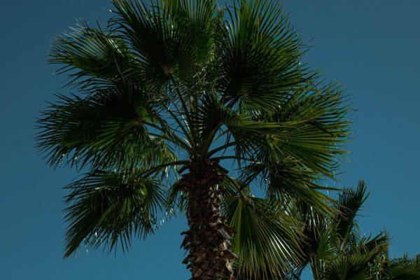Inicia rescate de palmeras AMH